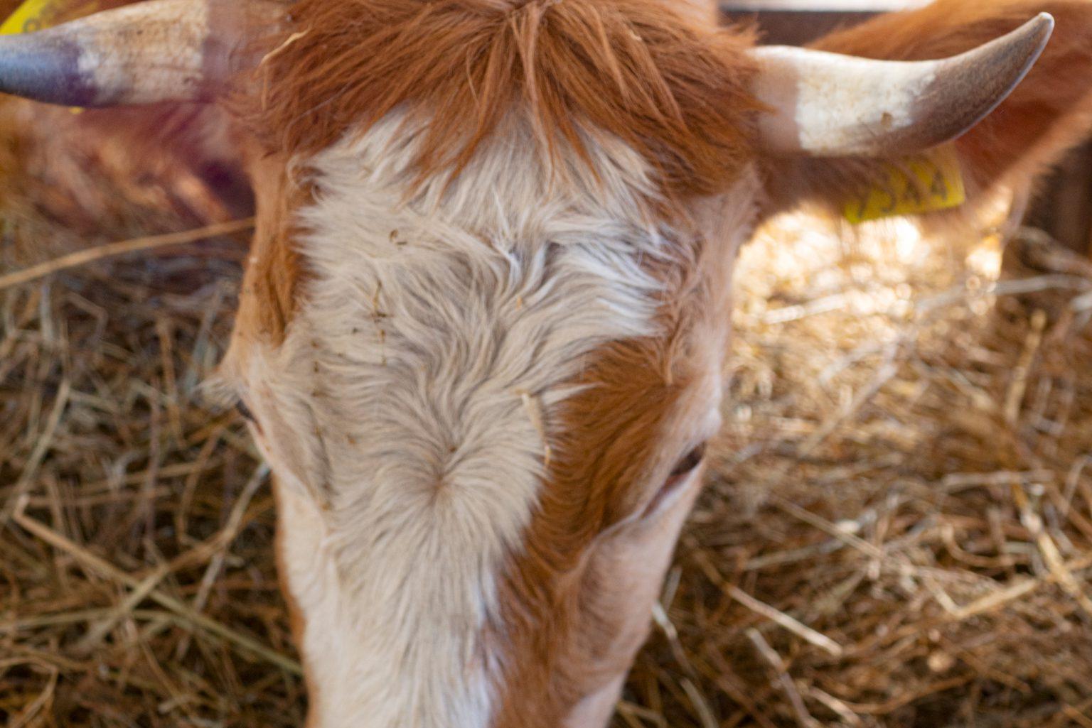 mucca-0039