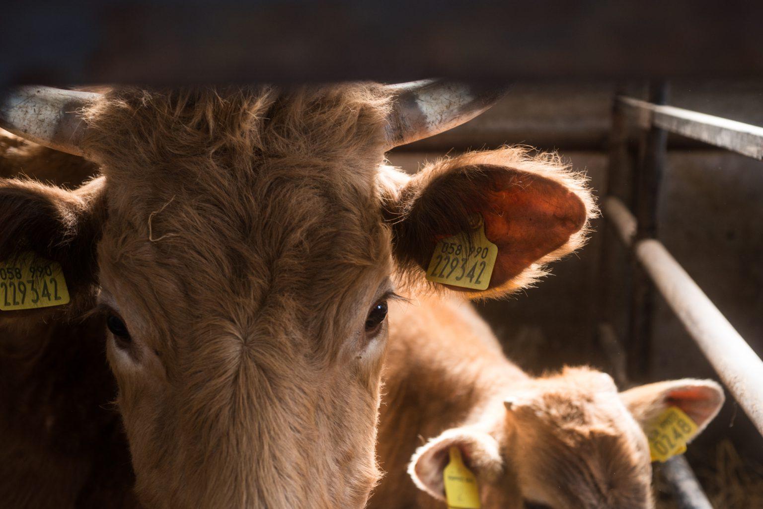 mucche, polli e porci-0043