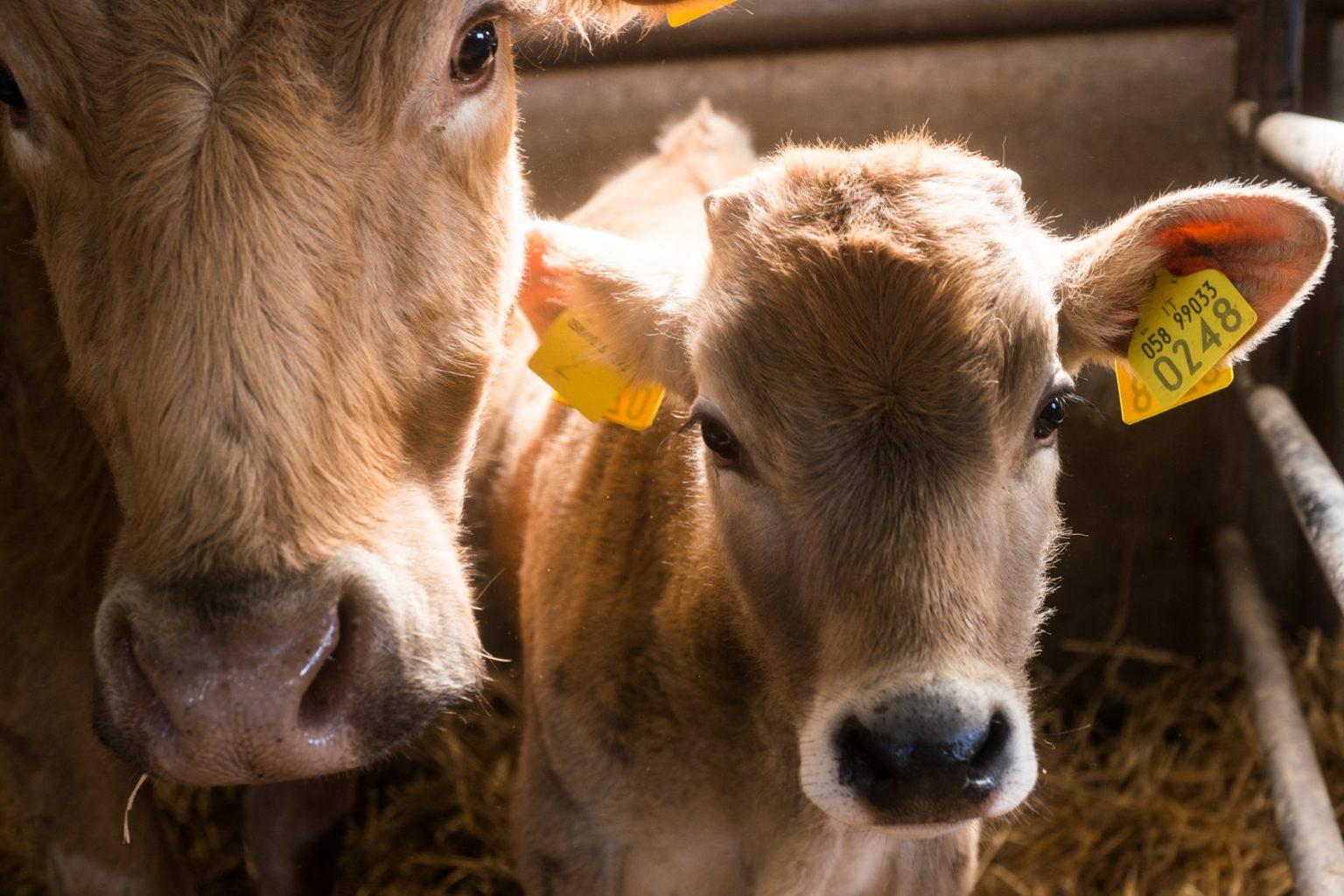 mucche, polli e porci-0046