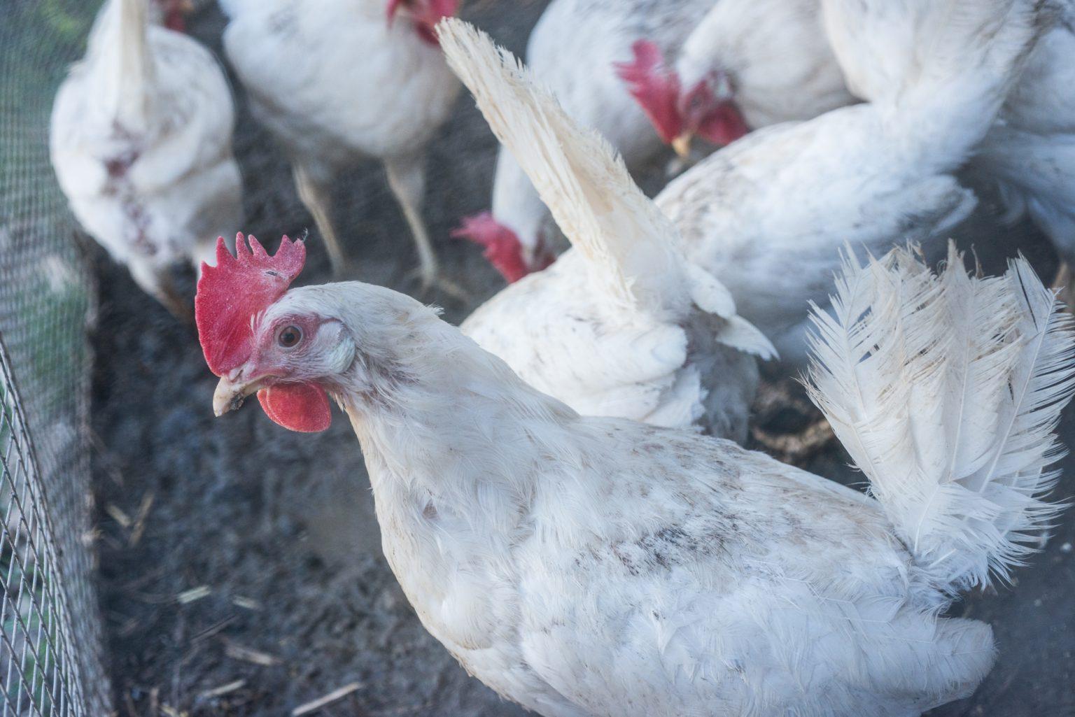 mucche, polli e porci-0080