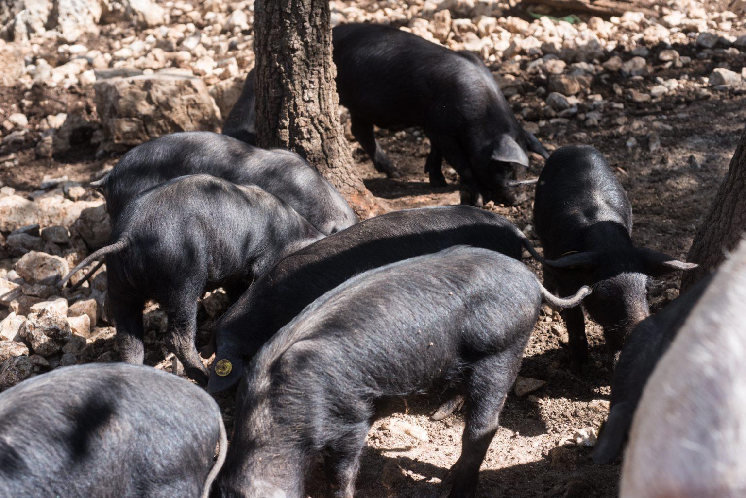 mucche, polli e porci-0087